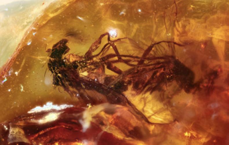 Descubren a dos insectos de hace 41 millones de años haciendo el amor