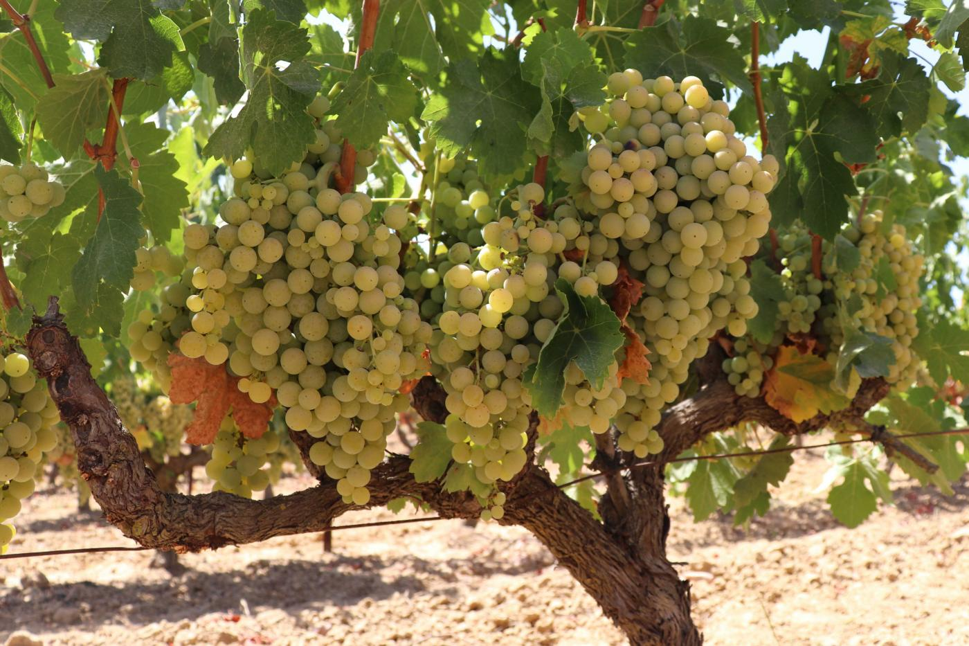 Arranca la vendimia en el Condado de Huelva ante el optimismo del sector